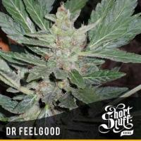 Dr Feelgood Feminised Cannabis Seeds   Shortstuff Seeds