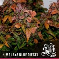 Himalayan Blue Diesel Regular Cannabis Seeds   Shortstuff Seeds