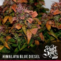 Himalayan Blue Diesel Feminised Cannabis Seeds   Shortstuff Seeds