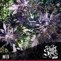 Mi5 Feminised Cannabis Seeds   Shortstuff Seeds