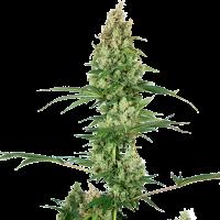 Silver Fire Feminised Cannabis Seeds - Sensi Seeds