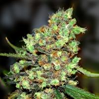 Skunk #1 Feminised Cannabis Seeds
