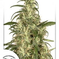 Skunk #11 Feminised Cannabis Seeds | Dutch Passion