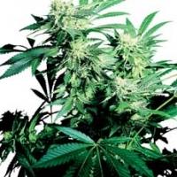 Skunk Kush Feminised Cannabis Seeds | Sensi Seeds