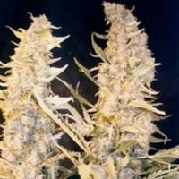 Buy Female Seeds Skunk Special Feminised Cannabis Seeds