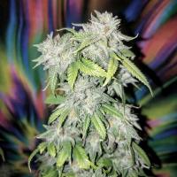Skush Feminised Cannabis Seeds | Top Shelf Elite
