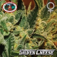 Big Buddha Silver Cheese Feminised Cannabis Seeds For Sale