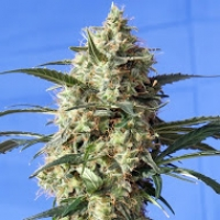 Snow White Feminised Cannabis Seeds | Spliff Seeds