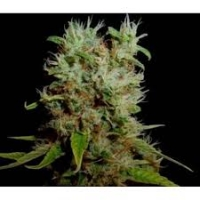 Soma Seeds Soma Salad Regular Cannabis Seeds | Soma Seeds