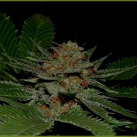 Big Kahuna Regular Cannabis Seeds | Soma Seeds