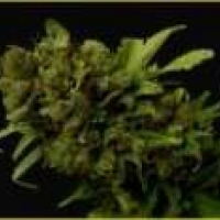 Citralah Regular Cannabis Seeds | Soma Seeds