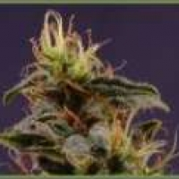 Reclining Buddha Regular Cannabis Seeds | Soma Seeds