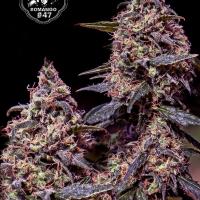 Somango 47 Feminised Cannabis Seeds | Positronics