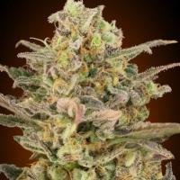 Somango Glue Feminised Cannabis Seeds | Advanced Seeds