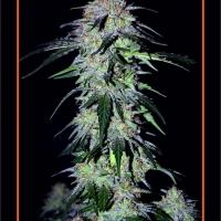Sour Hound F2 Auto Feminised Cannabis Seeds