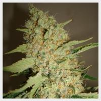 Sour Star Regular Cannabis Seeds | Hortilabs Seeds