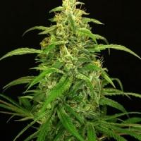 Spicy Bitch Regular Cannabis Seeds