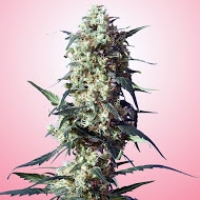 Spliff Strawberry Feminised Cannabis Seeds | Spliff Seeds
