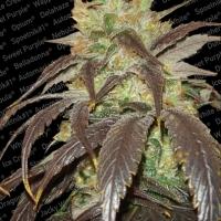 Spoetnik Feminised Cannabis Seeds | Paradise Seeds