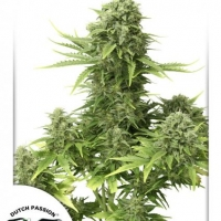 StarRyder Auto Feminised Cannabis Seeds | Dutch Passion