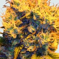 Sterling Haze Feminised Cannabis Seeds | Sativa Seedbank