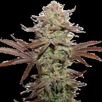 Sticky Fingers Auto Feminised Cannabis Seeds | Seed Stockers