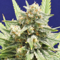 Stinkin' Bishop Feminised Cannabis Seeds | Original Sensible Seeds