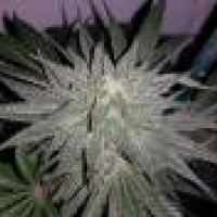 Afgooey Feminised Cannabis Seeds | Strain Hunters