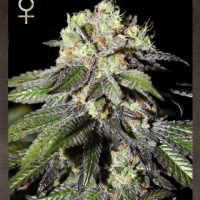 Buy Strain Hunters Caboose Feminised Cannabis Seeds