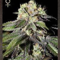 Buy Strain Hunters Caboose Feminised Cannabis Seeds