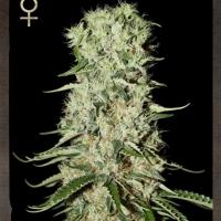 Buy Strain Hunters Damnesia Feminised Cannabis Seeds