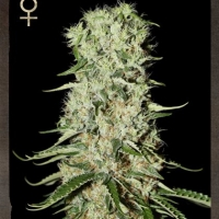 Buy Strain Hunters Damnesia Feminised Cannabis Seeds
