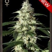 Buy Strain Hunters Skunk Auto Feminised Cannabis Seeds