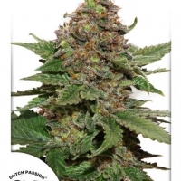 Strawberry Cough Feminised Cannabis Seeds | Dutch Passion