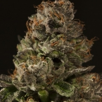 Strawberry Sour Diesel Feminised Cannabis Seeds | Devil's Harvest Seeds