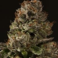 Strawberry Sour Diesel Regular Cannabis Seeds   Devil's Harvest Seeds
