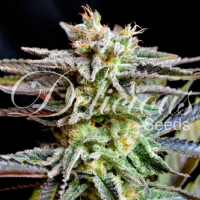 Sugar Black Rose Feminised Cannabis Seeds | Delicious Seeds