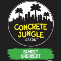 Sunset Sherbet Feminised | Concrete Jungle Seeds