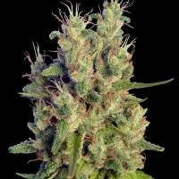 Super Malawi Haze Feminised Cannabis Seeds | Ace Seeds