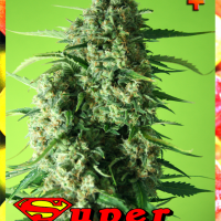 Super Mango Feminised Cannabis Seeds | Rockwell Seeds