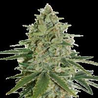 Super Skunk Auto Feminised Cannabis Seeds   Seed Stockers