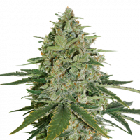 Super Skunk Auto Feminised Cannabis Seeds | Seed Stockers