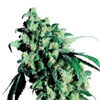 Super Skunk Feminised Cannabis Seeds | Sensi Seeds