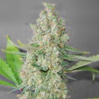 Super Skunk Feminised Cannabis Seeds