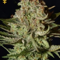 Super Bud Feminised Cannabis Seeds | Green House Seeds