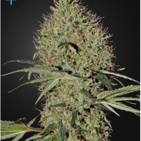Super Bud Auto Feminised Cannabis Seeds | Green House Seeds