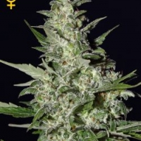 Super Critical Automatic Feminised Cannabis Seeds | Green House Seeds