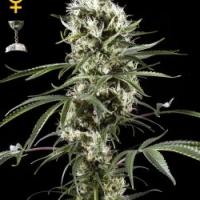 Super Lemon Haze Auto CBD Feminised Cannabis Seeds | Green House Seeds