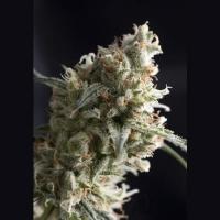 Auto Super Hash Feminised Cannabis Seeds | Pyramid Seeds