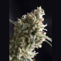 Auto Super Hash Feminised Cannabis Seeds | Pyramid Seeds